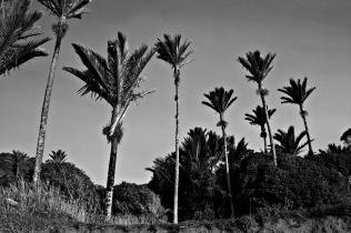 Nikau Palm