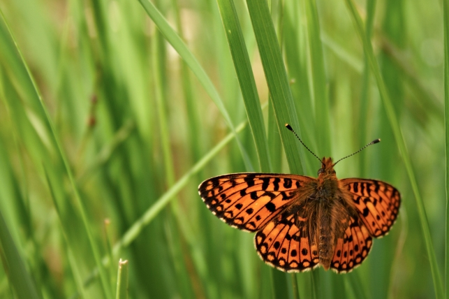 Common Fritillary