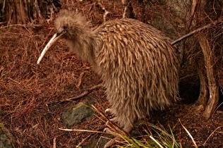 Stewart Island brown Kiwi [Wild]
