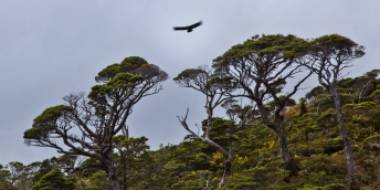 Condor over Lenga trees